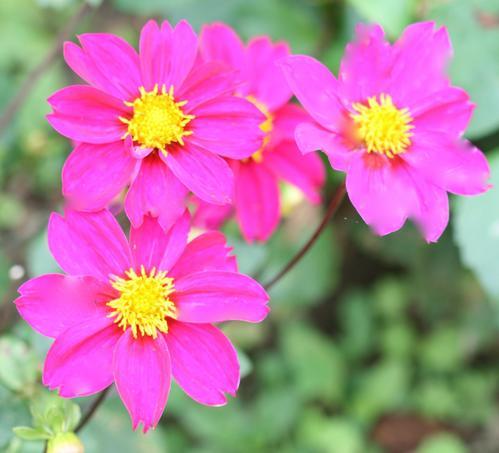 Dahlias à fleurs d'anémones