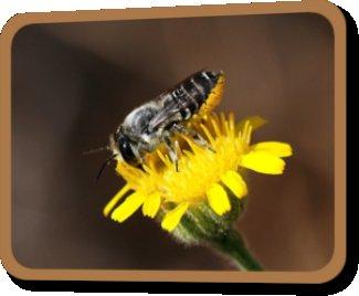 Ça bourdonne au jardin : abeilles solitaires et guêpes