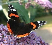 Les différents types de papillons