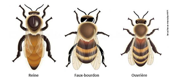 Connaitre et protéger les abeilles
