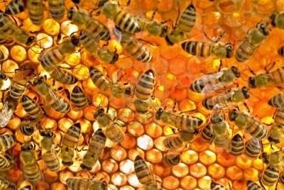 les abeilles dans les alvéoles
