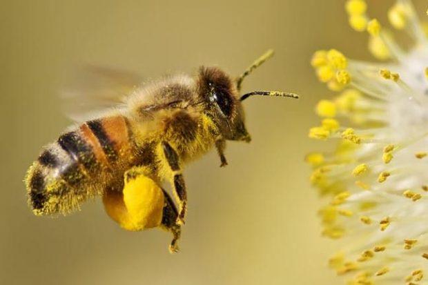 Comment l'abeille fabrique du miel
