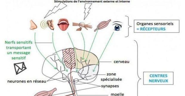 Les réponses de l'organisme aux stimulations de l'environnement [SVT]