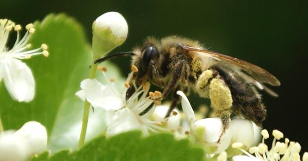 Notre amie l'abeille
